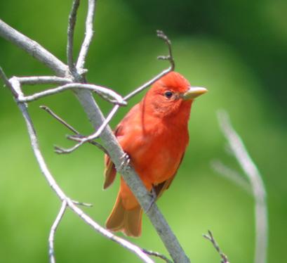 Breeding Bird