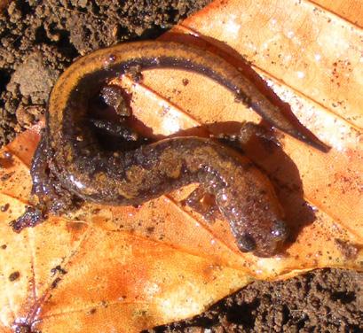 Zigzag salamander